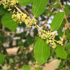 Zweig mit Blüten und Blätter von Ziziphus spina christi